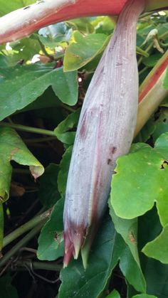 Beginnings of the banana flower, May 2016.