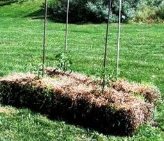 strawbale tomato plants