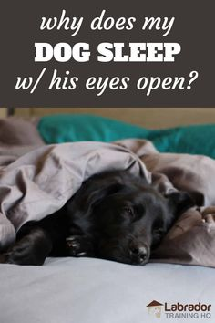Why Does My Dog Sleep With His Eyes Open? - LabradorTrainingHQ Dog Sleeping, Trouble Sleeping, New Puppy Checklist, Dog Care Tips, Service Dogs, His Eyes, Snuggles, How To Fall Asleep