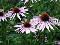Purple coneflower 'Magnus' has purple-pink to rosy purple flowers that develop like a cone that falls back as they age.