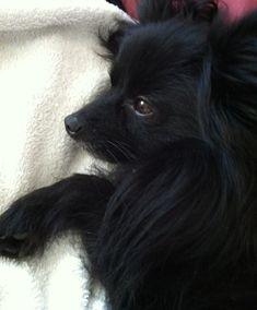 Remi black Pomeranian, my baby boy