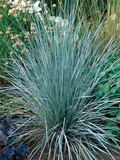Blue oat grass (Helictotrichon sempervirens) is loved for its dramatic foliage and spiky architecture. Plants form a clump of bright, silvery-blue leaves, with taller arching stems of flowers appearing in early summer. Landscaping Plants, Front Yard Landscaping, Garden Spaces, Garden Plants, Gravel Garden, Blue Oat Grass, Green Grass, Black Walnut Tree, Sensory Garden
