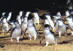 When you go you are 10 meters away from them. Penguin Parade, Phillip Island, Australia.