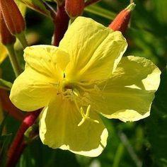 Meconopsis Cambrica Wildflower SEEDS Pack De 250 Jaune Welsh Poppy