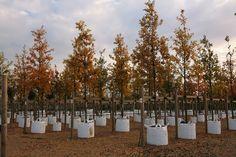 Semi mature Quercus robur, Englsih Oak, displaying autumn foliage just before leaf fall