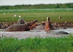 Hippos in uganda. Cant improve on nature even with these guya