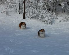 Snow Shelties - Sheltie Nation