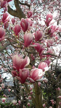 Magnolia AGF Neustadt