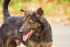Street mongrel dogs of Davao, Philippines. These are known as 'askals or aspin... - #askals #aspin #Davao #dogs #mongrel #Philippines #Street