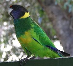 The Australian Ringneck (Barnardius zonarius) is a parrot native to Australia. Except for extreme tropical and highland areas, the species has adapted to all conditions.