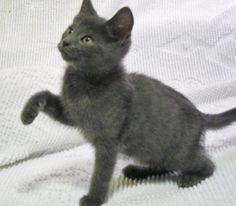Adoptable Fridays: Meet Charlie! Charlie is an adoptable Domestic Short Hair Cat in Edmond, OK. Find out more about Charlie! #fcadoptablefridays #fcpets