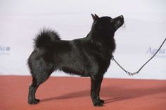 TINIEST DOG BREED <<>> Schipperke <<>> Maximum Height: 13 inches Maximum Weight: 16 pounds With the right socialization, the schipperke can be an enjoyable dog that is great with kids. This breed is not for novice dog owners, since the puppies are quite stubborn and prone to finding mischief. © Svenska Mässan / Flickr
