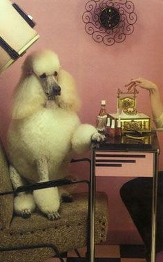 Miniature Poodle Care - Belezza,animales , salud animal y mas Grooming Shop, Poodle Grooming, Pet Grooming, Poodle Haircut, Retro, Pink Poodle, I Love Dogs, Your Dog, Photos