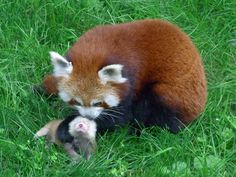 Dortmund-Zoo-Kleiner_Panda151930.jpg (3456×2592)