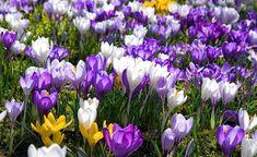 Ab Ende Februar verwandelt sich so manche Rasenfläche in eine bunte Krokuswiese. Wichtig: Warten Sie nach der Blüte mit dem Rasenmähen, bis das Laub vergilbt ist