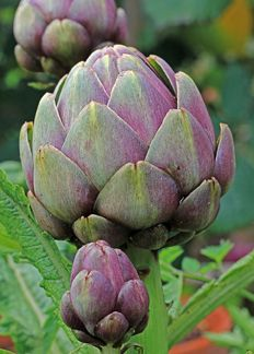 Artichoke 'Tempo' - Annie's Annuals - I had a couple of beautiful artichoke plants... until the gophers got to them.  I haven't bothered since then.