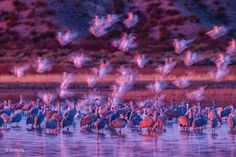 Ghostly snow geese by Gordon Illg (US) These snow geese looked like ghosts in the pink early morning light as they landed among sandhill cranes in the Bosque del Apache national wildlife refuge, New Mexico, US. Gordon had no control over the patterns made by the landing geese, all he could do was compose the image around the cranes and keep pushing the shutter button as the geese dropped down.