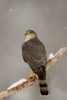 Cooper's Hawk, Collage Pictures, Cheap Things To Do, Birds Of Prey, Raptors, Hawks, Bird Watching, Love Birds, Bird Feathers