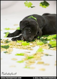 Black lab puppy dog eats shamrocks and lies in gold coins. St. Patties pet. Love this photo? Re-pin it!