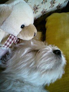 News West Highland White Terrier ch.s. Třešňový květ