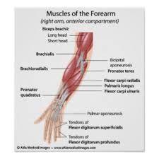 Muscoli corpo umano yahoo dating