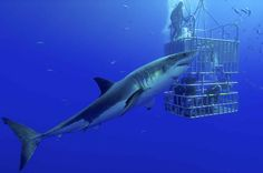 Could great white sharks be attracted to rock music?http://www.scubadiving.com/dive-operators-use-music-not-chum-to-attract-great-white-sharks