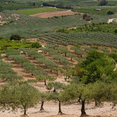 Sicilia - olive groves (and orange trees as well)