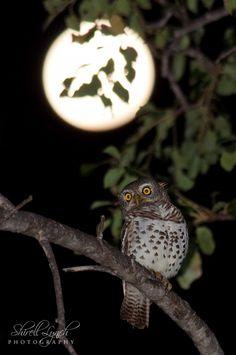 Fotografía African Barred Owlet por Shirell Lynch en 500px