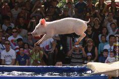 Pig Racing in Sydney