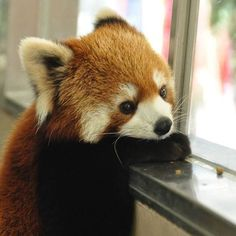 I Dream to become A Red Panda one day! Fluffy Animals, Cute Baby Animals, Animals And Pets, My Spirit Animal, My Animal, Cute Creatures, Panda Bear, Pet Birds, Animals Beautiful