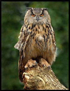 Eagle Owl by Ronald Coulter