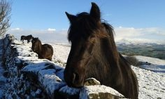 Fell ponies, Cumbria: unfazed by the snow they prosper as a herd on the hills