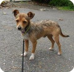 Little Rock, AR - Chihuahua/Terrier (Unknown Type, Medium) Mix. Meet Eddie, a dog for adoption. http://www.adoptapet.com/pet/11147444-little-rock-arkansas-chihuahua-mix
