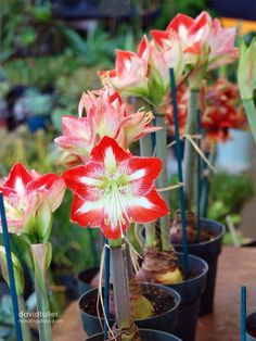 Amaryllis Hoping I get to have one tis year when the dust settles.