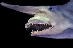 Goblin Shark Remember when we said that not all the animals on this list were cute? Point proven with the goblin shark for sure. The Goblin. Bizarre Animals, Unusual Animals, Rare Animals, Goblin Shark, Weird Sea Creatures, Ocean Creatures, Beautiful Creatures, Shark Jaws, Look Alike