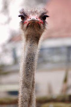 Nieuwsgierige struisvogel