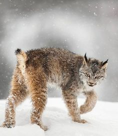 Canadian Lynx by © suhaderbent