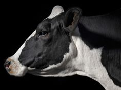 View top-quality stock photos of A Holstein Cow With A Piebald Coat At The Indiana State Fair. Farm Animals, Animals And Pets, Cute Animals, Cattle Farming, Livestock, Cow Photos, Holstein Cows, Happy Cow, Cow Painting