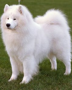 """Samoyed:""""The smiley dog""""  also hypo allergenic"""