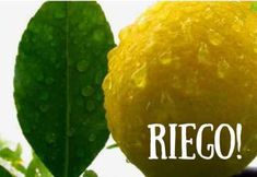 Cómo y cuánto riego necesitan los limoneros y otros cítricos Home Remedies, Cactus, Planters, Lime, Organic, Terracota, Gardening, Blog, Gardens