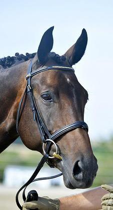Sir Lancelot he is a true black stallion. Stands 14.3. Champion Connemara Stallion.