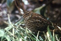 South Island Snipe(Coenocorypha iredalei)