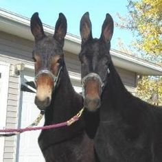 Percheron Draft Mules - like my Abigail! All The Pretty Horses, Beautiful Horses, Farm Animals, Animals And Pets, Draft Mule, Percheron Horses, Draft Horses, All Gods Creatures, Zebras