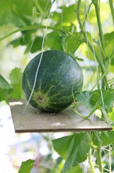 Melonen im Gewächshaus