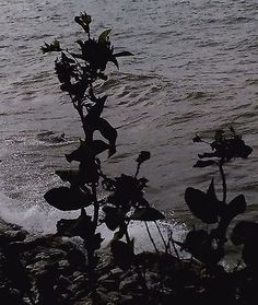 Black White Photography/Roses on Lake Modern Wall Art /Fine Art Print/Abstract