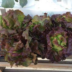Red Bibb lettuce - Where is my fork? #aero #aeroponics #growyourownfood #salad #food #goodeats #healthyeating by aerogrowing