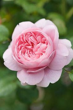 'Queen of Sweden' rose by Clive Nichols