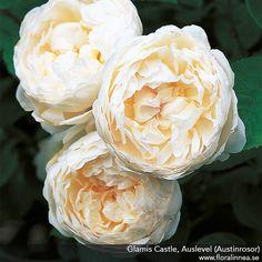 http://floralinnea.se/rosor/engelska-austin-rosor/glamis-castle.html