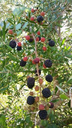 Bluckberry, a wild summer fruit Fruit Plants, Fruit Trees, Trees To Plant, Colorful Fruit, Exotic Fruit, Veg Garden, Fruit Garden, Mulberry Fruit, Mulberry Silk