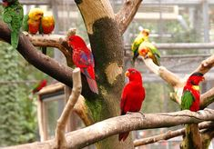 Various lories in an aviary Rockin Robin, Habitat Destruction, Hope Is The Thing With Feathers, Bird Species, Exotic Pets, Bird Feathers, Habitats, Parrot, African